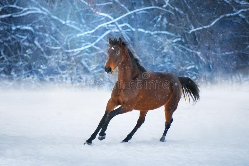 Bay horse in snow stock image