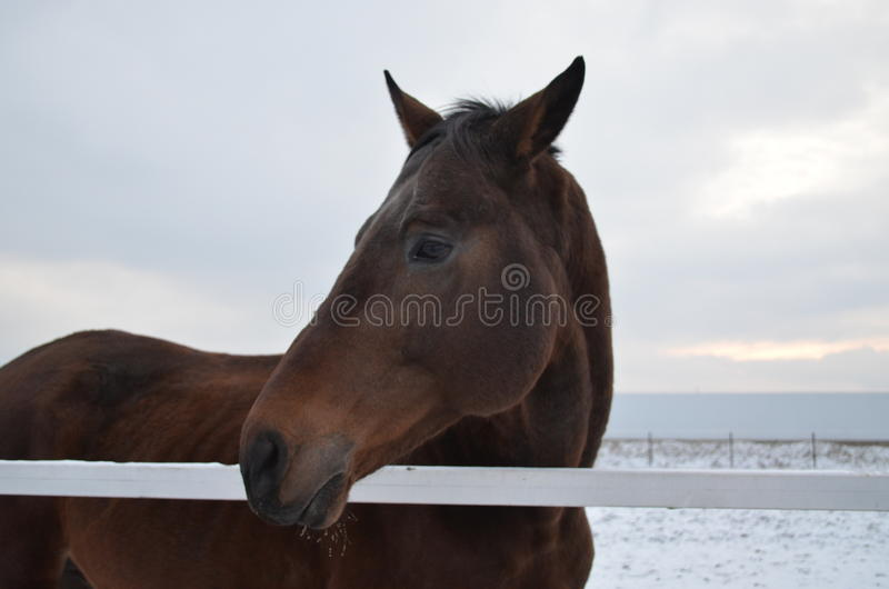 Bay horse and snow royalty free stock photos