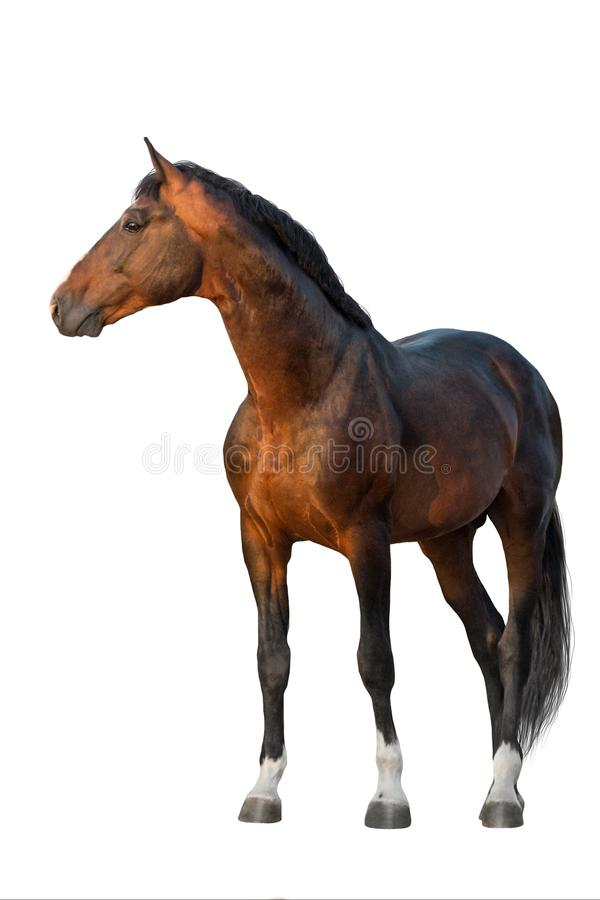 Bay horse standing on white stock photography