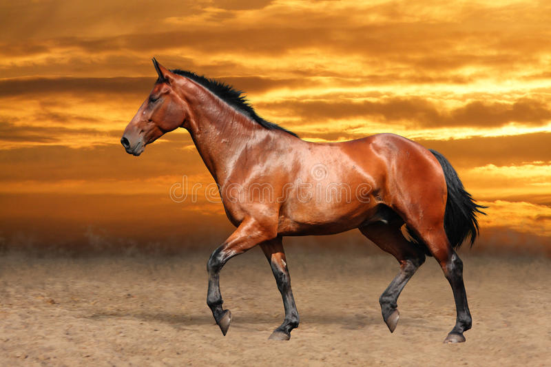 Bay horse trotting free on sky background stock photo
