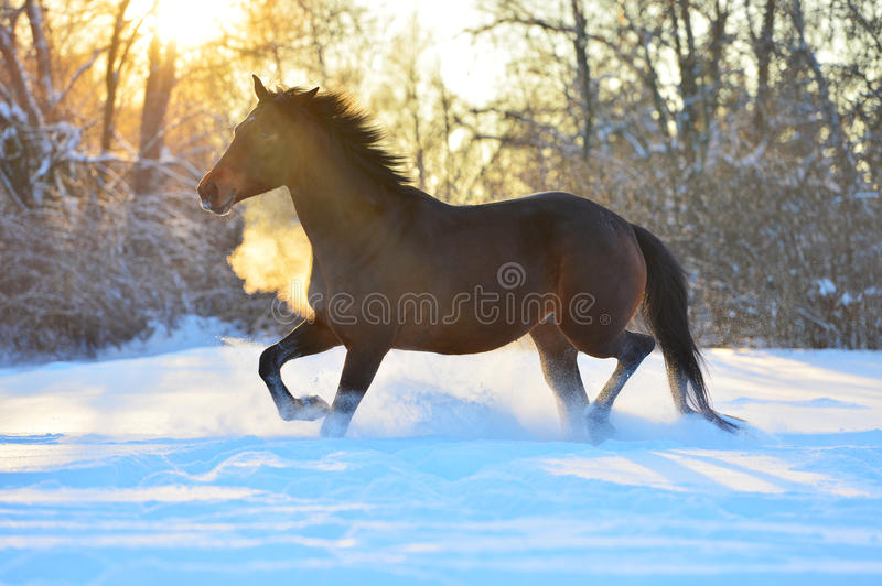 Bay horse trotting on the snow in winter time stock image