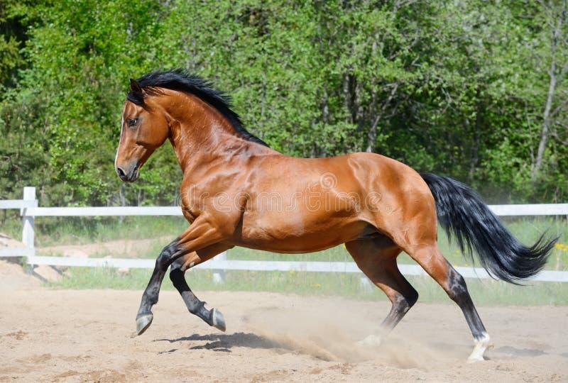 Bay Horse Of Ukrainian Riding Breed In Motion Royalty Free Stock Photos