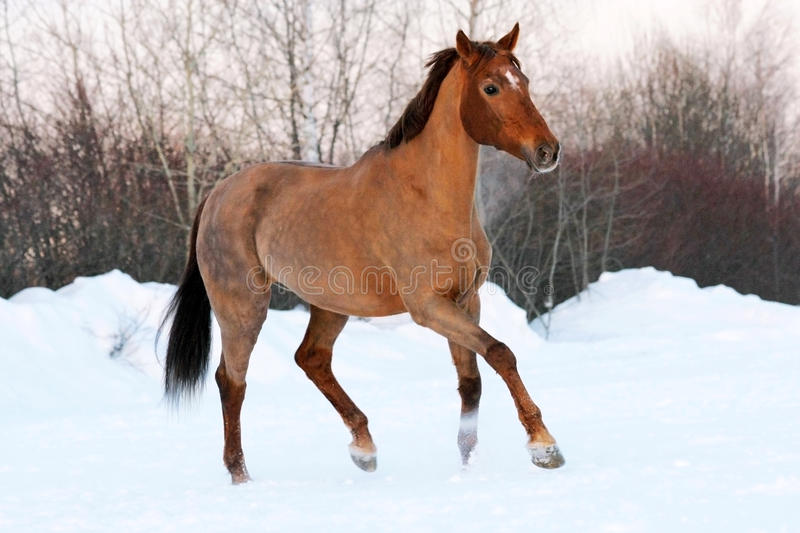 Bay horse in winter trotting stock images