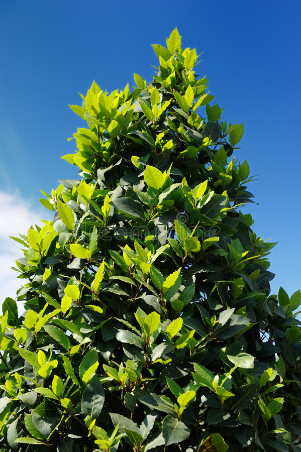 Bay Laurel Laurus Nobilis Tree royalty free stock photos