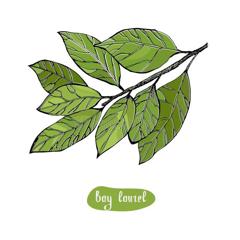 Bay Laurel or Laurus nobilis, vintage engraved illustration. Bay leaf vector hand drawn illustration. Isolated spice object. Engraved style seasoning laurel stock illustration