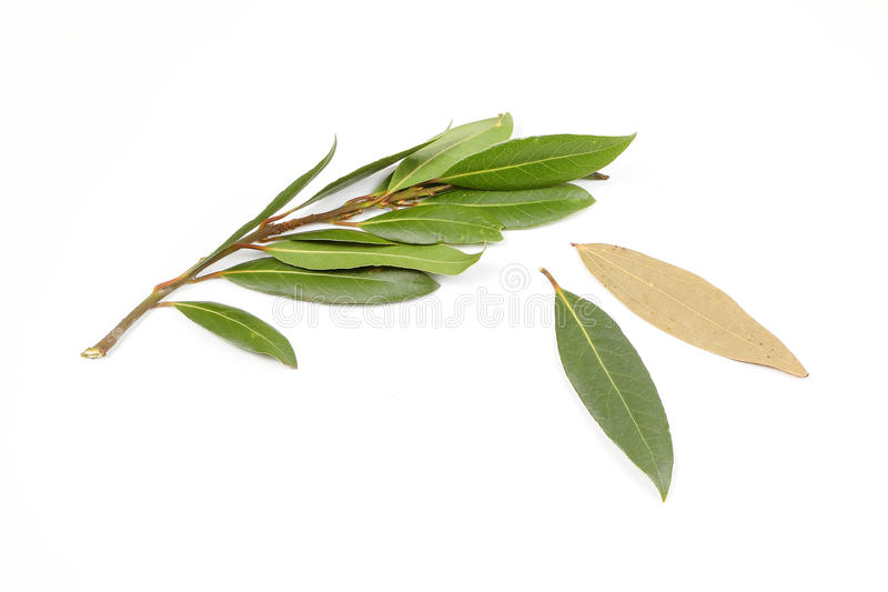 Bay leaf herb spice stock photo