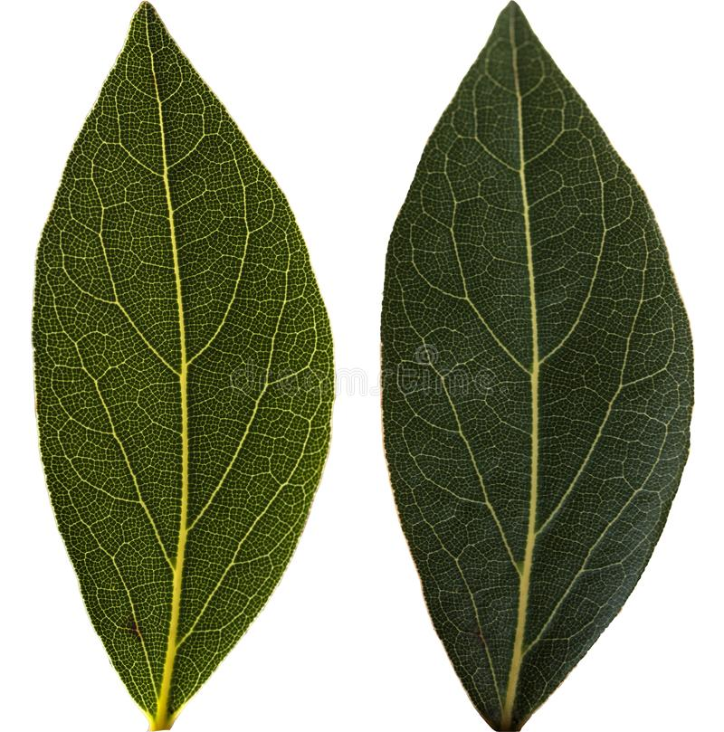 Bay leaf isolated on white stock images