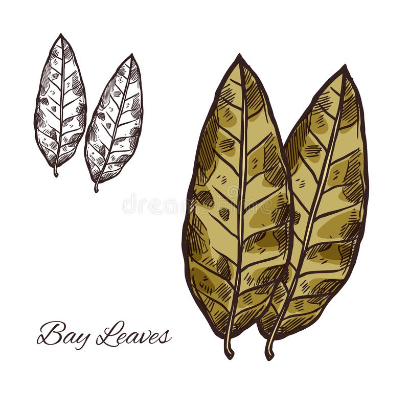 Bay leaf sketch for spice or seasoning design. Bay leaf sketch of spice and culinary herb. Green bay leaf of laurel tree isolated icon of spicy cooking royalty free illustration