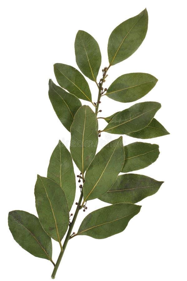 Bay leaf spice stock image