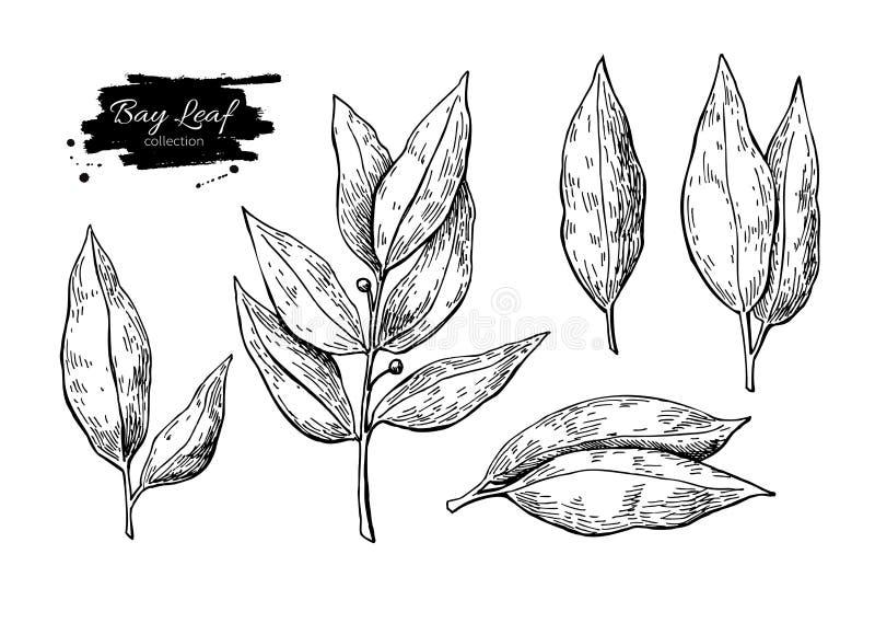 Bay leaf vector hand drawn illustration. Isolated spice object. Bay leaf vector hand drawn illustration set. Isolated spice object. Engraved style seasoning vector illustration