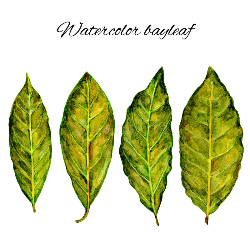 Bay leaf watercolor illustration on the white background, Hand drawn sketch, Design food elements, Series of food and. Ingredients for cooking, menu stock illustration