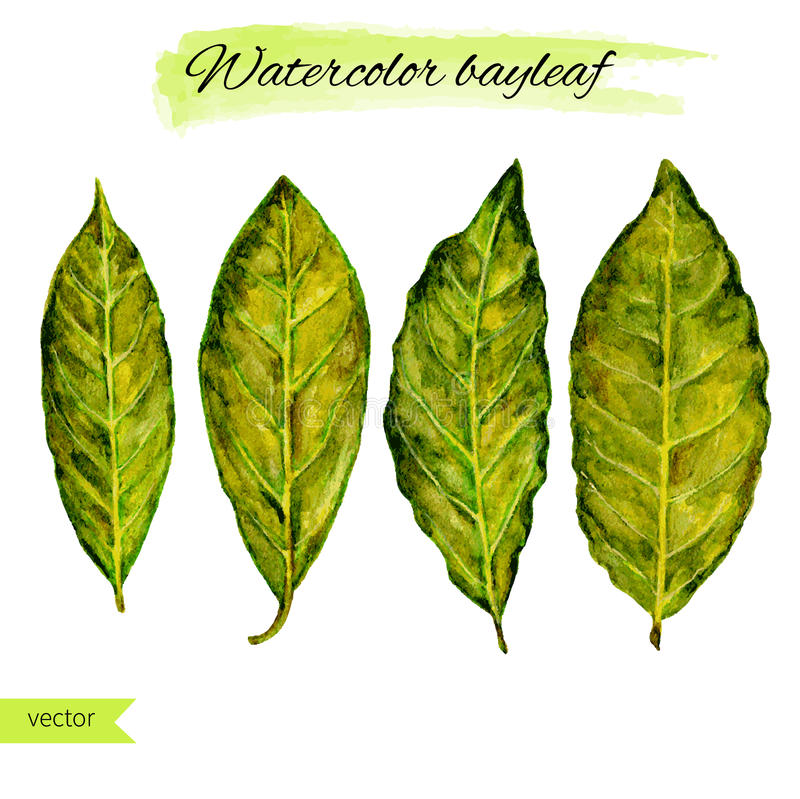 Bay leaf watercolor vector illustration on white background, hand drawn sketch, food and ingredients for cooking, design. Healthy market, restaurant menu royalty free illustration