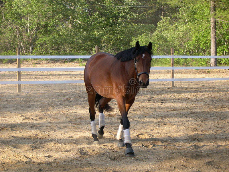 Download Bay Mare stock photo. Image of shade, ring, mare, riding - 162834