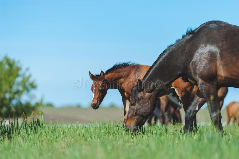 Bay mare and foal graze in the green field. stock photo