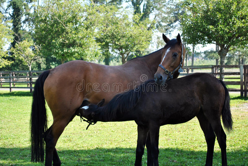 Bay mare and her foal royalty free stock photography