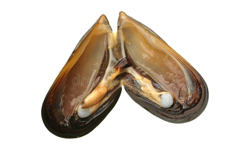 Bay mussel. Organs inside of freshly opened bay mussel isolated on white stock photo