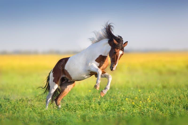 Piebald horse run stock photography