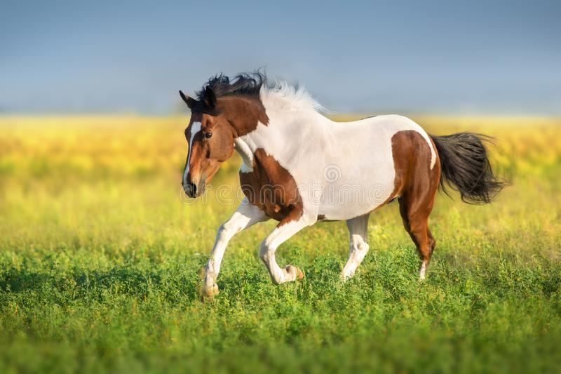 Piebald horse free run. Bay pinto horse run fast in green spring meadow stock images