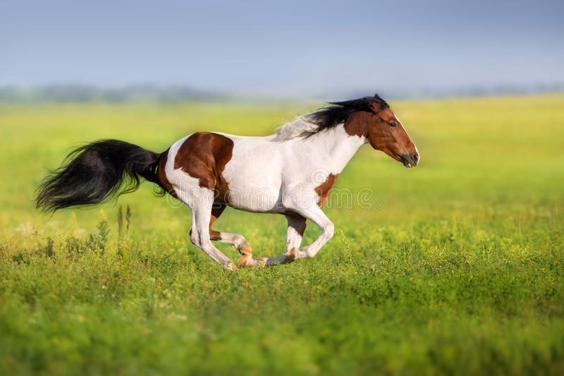 Piebald horse run stock photos