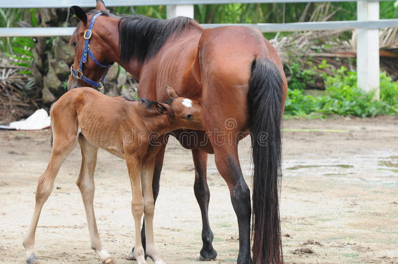 Bay Mare Feeding Foal royalty free stock image