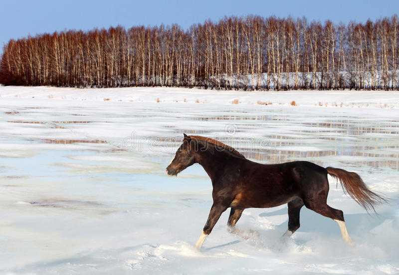 Bay purebred horse runs gallop in winter farm. Nice chestnut arabian horse running in paddock stock photo