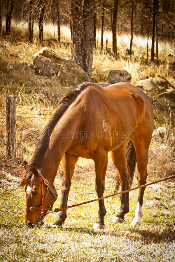 Bay race horse having a pick of grass after a race stock images