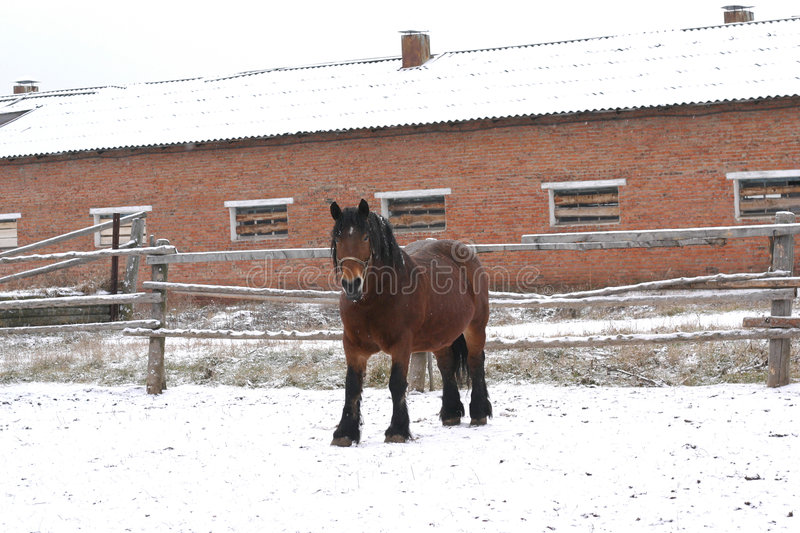 Bay Russian shire horse royalty free stock images
