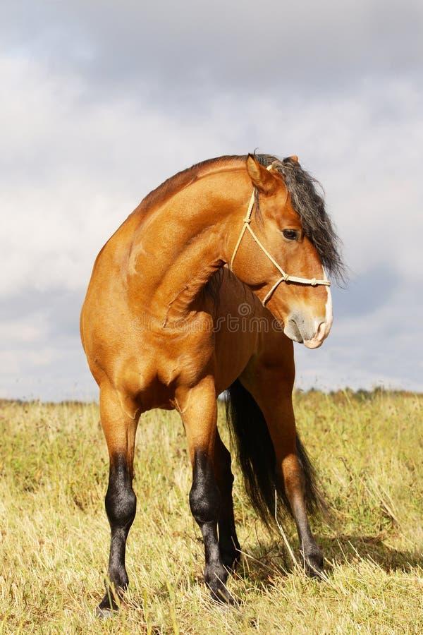 Bay stallion stock images