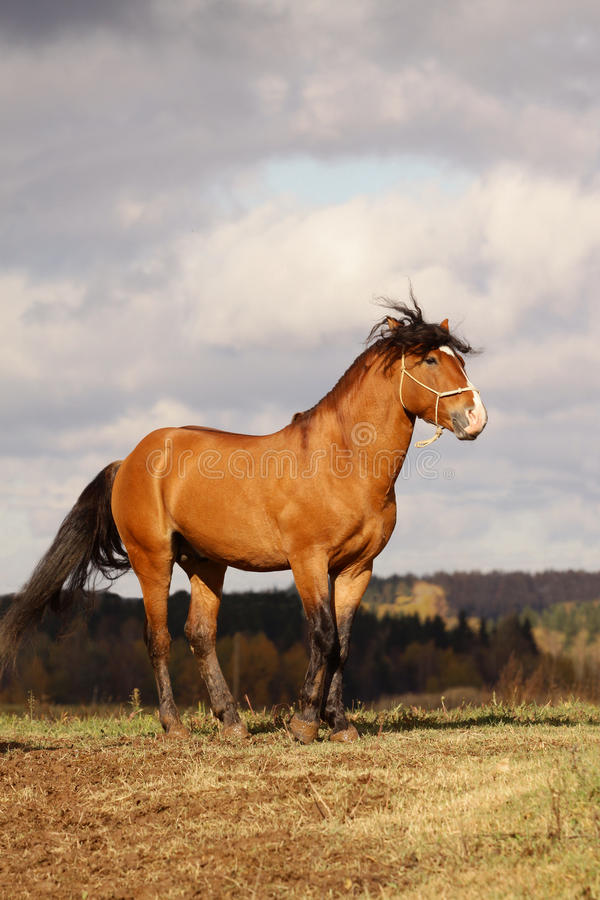 Download Bay stallion stock photo. Image of cloudy, autumn, orange - 11677744