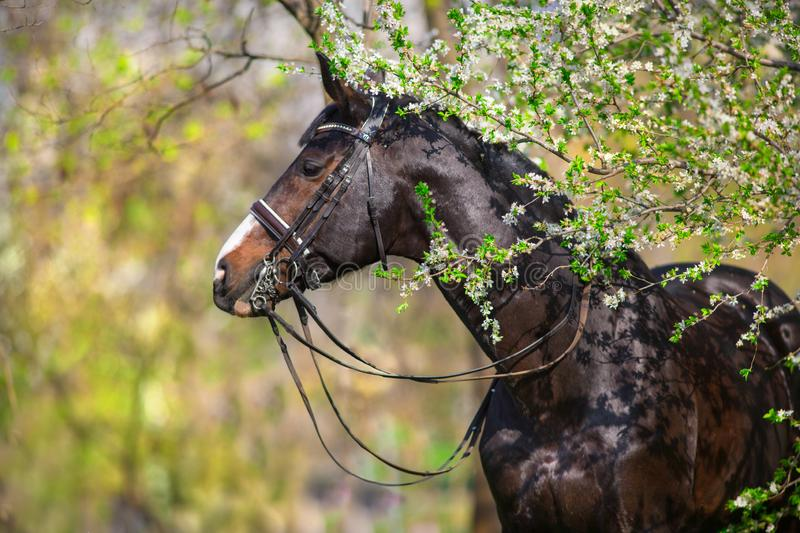Bay stallion in bridle in spring park. Bay stallion in bridle in spring blossom tree royalty free stock images