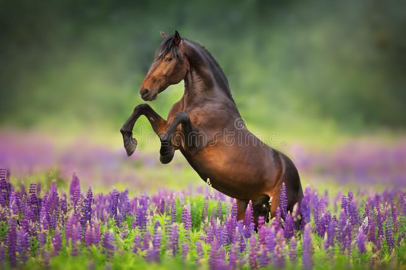 Horse in lupin flowers stock image