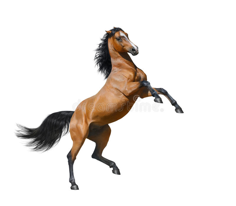 Bay stallion rearing - isolated on a white background stock images