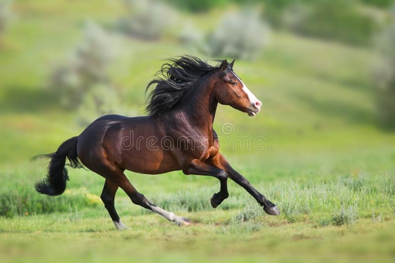 Bay stallion run gallop. Horse with long mane close up run on green field stock image