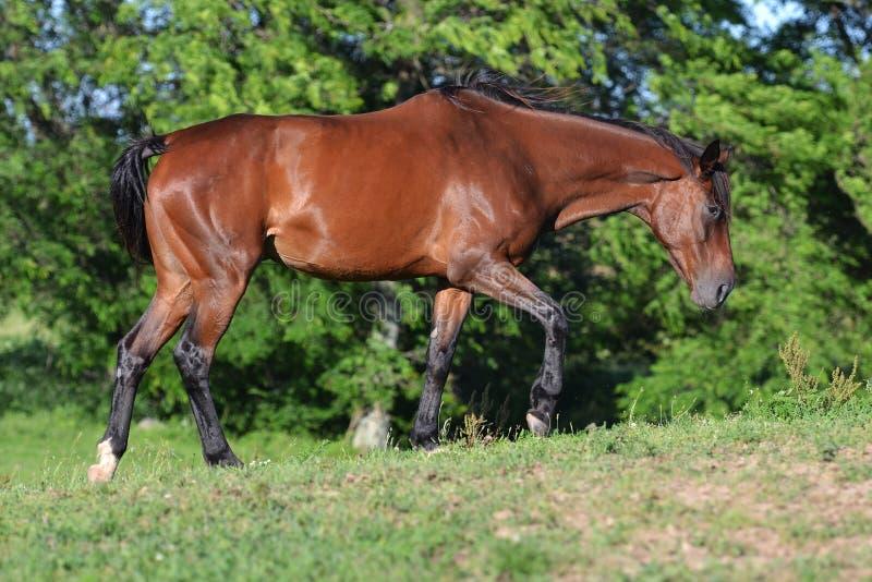 Bay thoroughbred mare walking stock photo