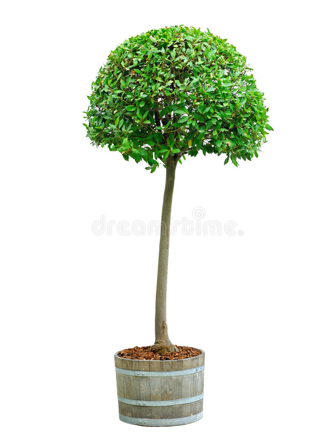 Download Bay tree stock photo. Image of front, garden, green, nature - 24692178