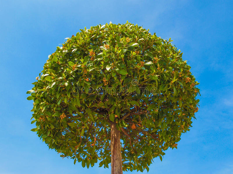 Bay tree royalty free stock photo