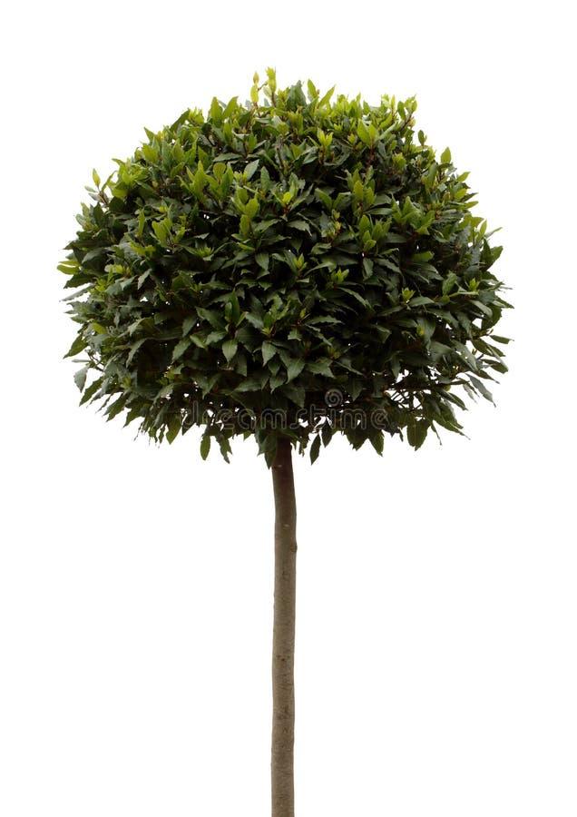 Bay tree Laurus Nobilis royalty free stock photos