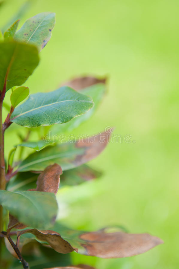Bay tree Laurus nobilis with blurred green background royalty free stock photography