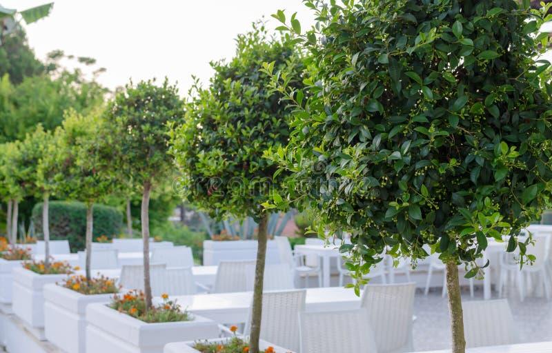 Bay trees before flowering border outdoor reatauraunt terrace. row of Laurel trees stock image