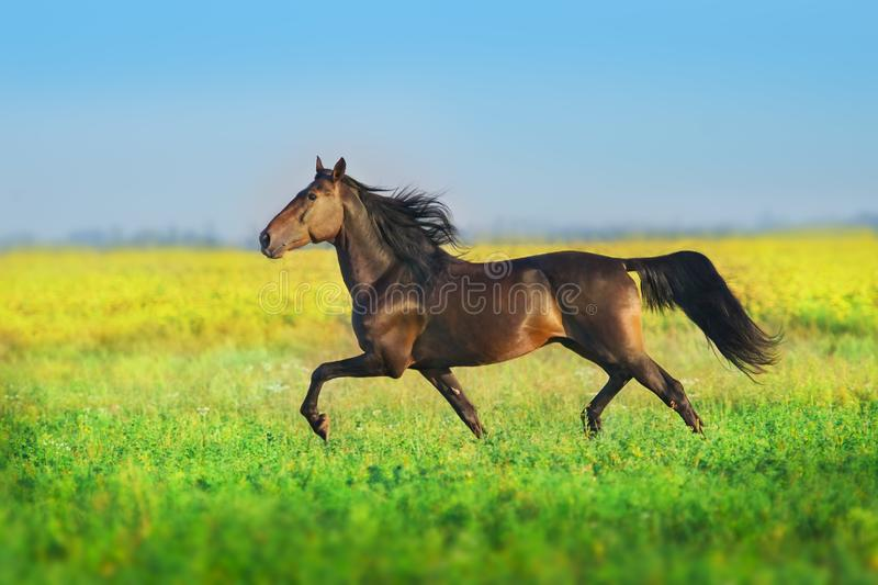 Bay trotter stallion. Run gallop in spring meadow stock photo