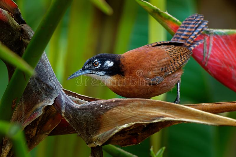 Bay Wren - Cantorchilus nigricapillus is a highly vocal wren species of forested areas, especially along watercourses, in the. Lowlands and foothills of royalty free stock images