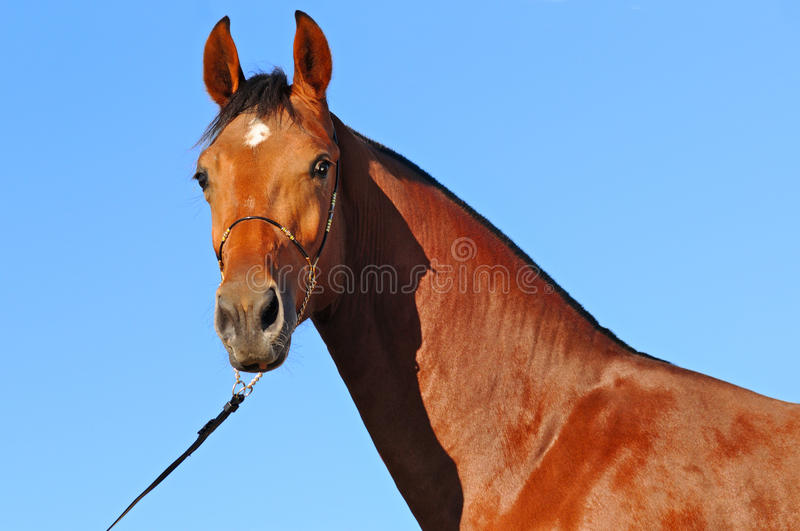 Download Bay young stallion stock photo. Image of bridle, mare - 16867884