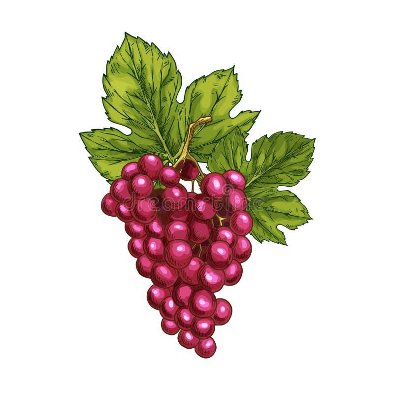 Baya aislada bosquejo de la fruta del vector de la uva roja stock de ilustración