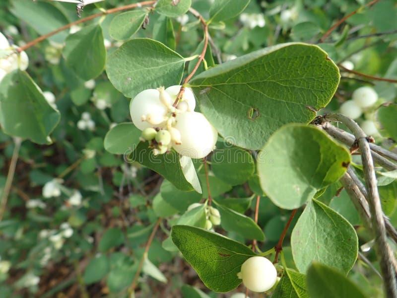 Baya blanca en una rama verde del arbusto fotos de archivo libres de regalías
