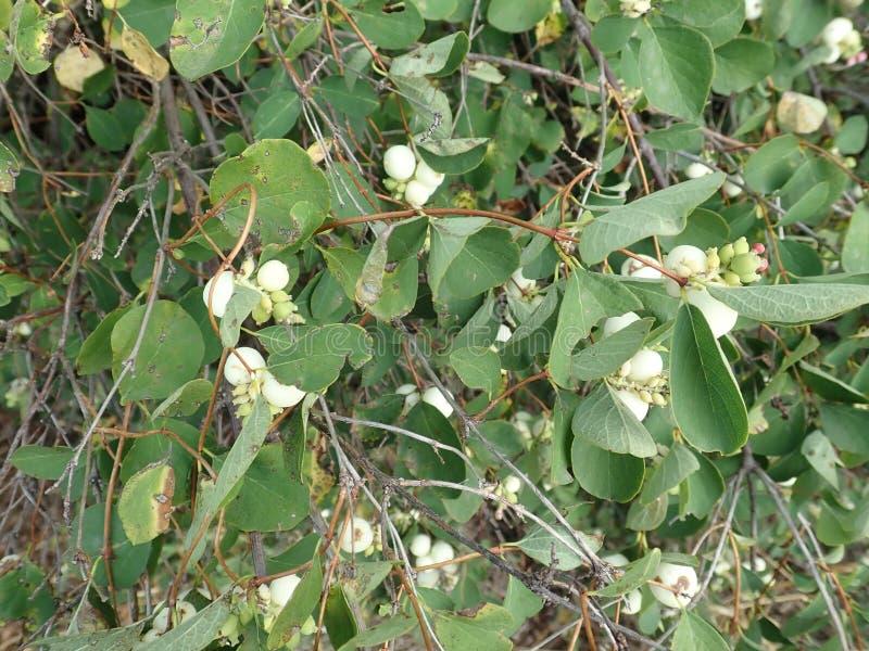 Baya blanca en una rama verde del arbusto imagen de archivo