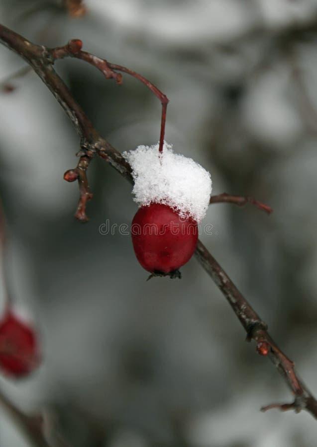 Baya de la nieve imágenes de archivo libres de regalías