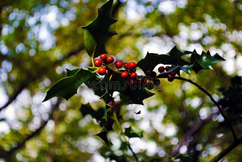 Baya del otoño fotografía de archivo libre de regalías