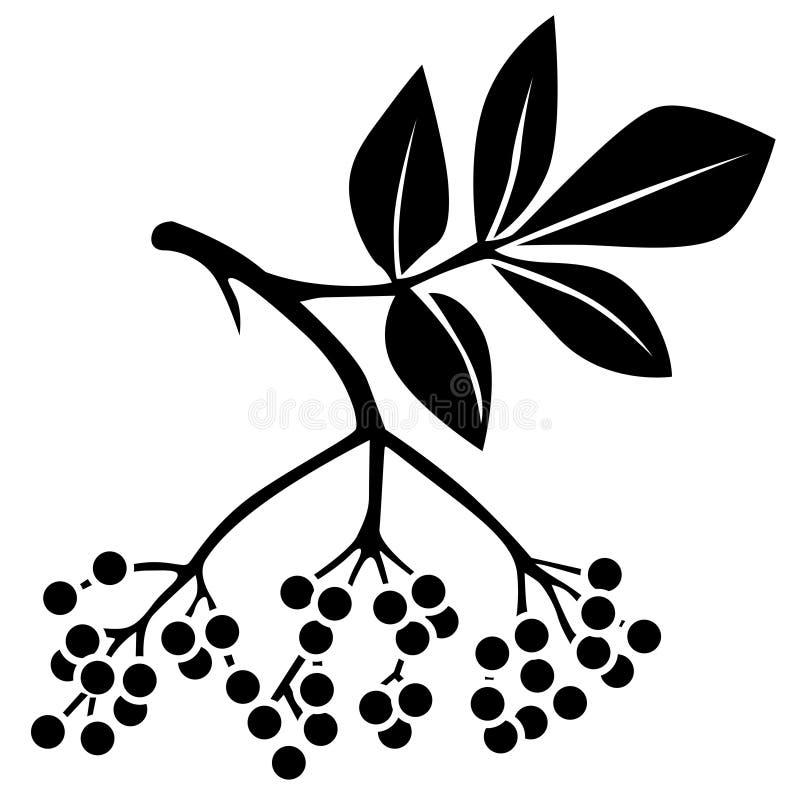 Baya del saúco negra ilustración del vector