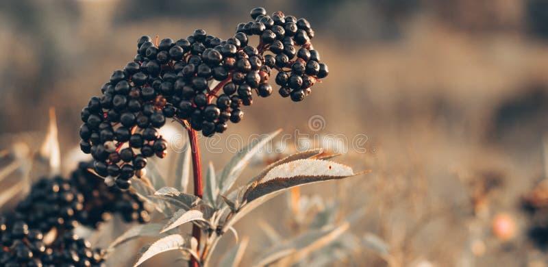 Baya del saúco negra de la fruta de los racimos en jardín en nigra del Sambucus de la luz del sol anciano, anciano negra, fondo e fotografía de archivo
