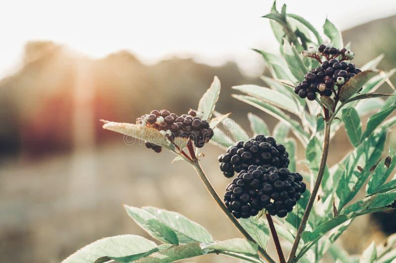 Baya del saúco negra de la fruta de los racimos en jardín en nigra del Sambucus de la luz del sol anciano, anciano negra, fondo e imagen de archivo